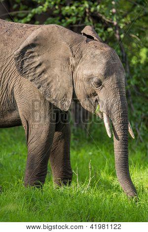 Elefanten in Afrika auf Safari Sambia