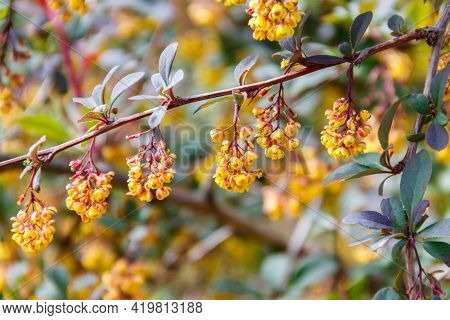 Yellow Flowering Plant Of Thunberg's Barberry (berberis Thunbergii), Also Known As The Japanese Barb