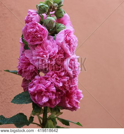 A Pink Blossoming Hollyhock In The Garden
