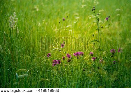 Beautiful Purple Wildflower Blooming In The Tall Grass In Meadow. Summer Morning Scenery Of Northern