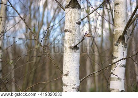 Trunk Of A Young Birch Close-up On The Background Of The Forest