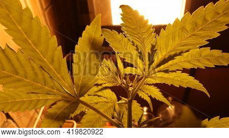 Lush Cannabis Leaves Bottom View Against The Background Of A Square Lamp In The Process Of Growing A