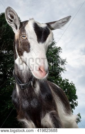 Funny Black And White Spotted Goat With Pink Nose , And Fur Earrings , Shot With Wide-angle Lens