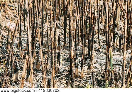 Seared Trunks Of Reeds After Fire. Fatal Consequences For Plants.