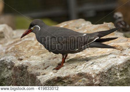 The Inca Tern (larosterna Inca) In Zoo.