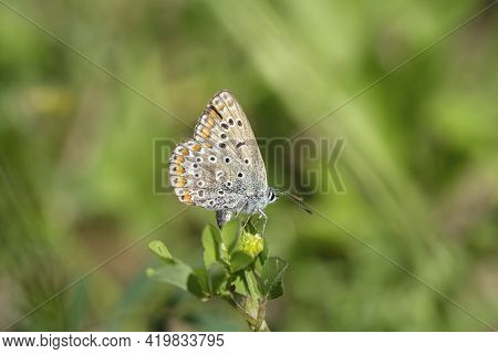 Wild Butterfly Living On Spring Flowers Meadow, Nature Insect Animals Wildlife