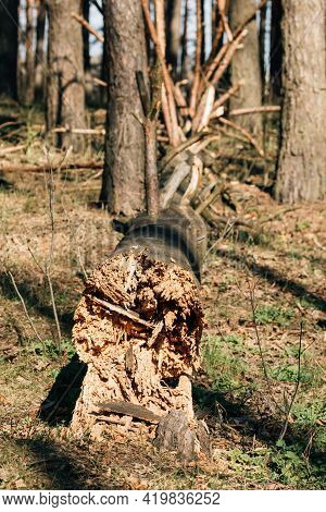 Fallen Old Pine Tree Trunk. Windfall In Forest. Storm Damage. Fallen Tree In Coniferous Forest After