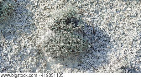 Light Blue Lichen Bush In The Chalk Desert. A Bush On A Chalk Hill. Small Pieces Of Chalk. Plants In