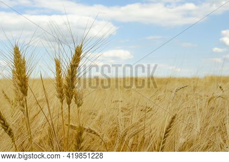 Close Up Of Wheat Ears, Ears Wheat On The Ground. Harvesting Period. Fallen Wheat Ears With Large Ri
