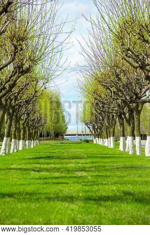 A Green Alley With Clipped Poplars Leaving In The Distance Blooms, Spring, Nature Wakes Up