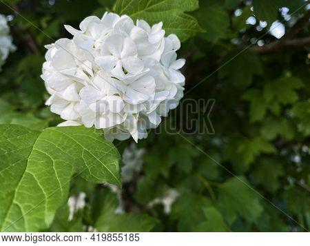 White Flower Of Viburnum Opulus, Common Name Guelder Rose Or Snowball Flower. Concept For Botany, Ga