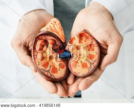 Treatment Of Kidney Diseases. Urologist Showing An Anatomical Model Of Kidney, Close-up