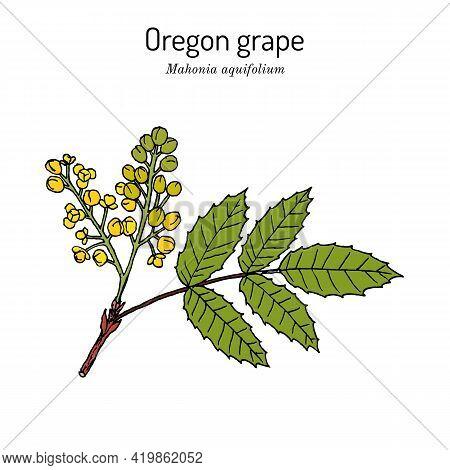 Oregon Grape Mahonia Aquifolium , Medicinal Plant. Hand Drawn Botanical Vector Illustration