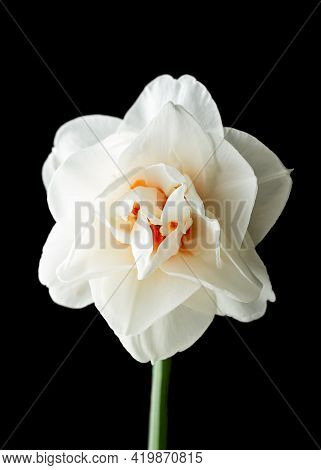 Double White And Orange Fragrant Daffodil Narcissus Flower Close-up