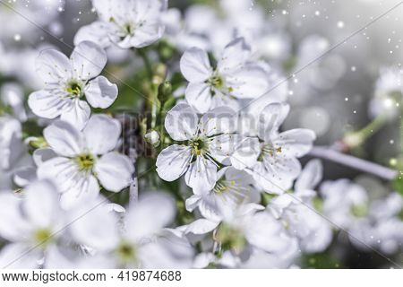 Cherry Flowers In Small Clusters On A Cherry Branch, Fading To White. Shallow Depth Of Field. Cherry