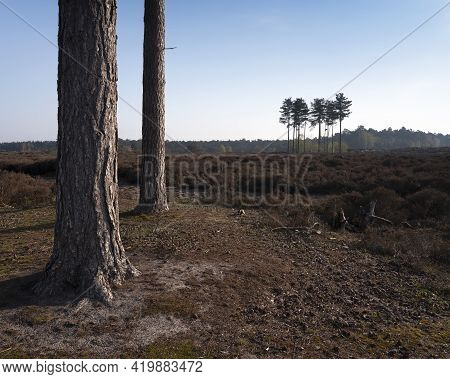 Pine Trees On Heath Land Near Amersfoort And Utrecht In The Netherlands On Early Morning In Spring