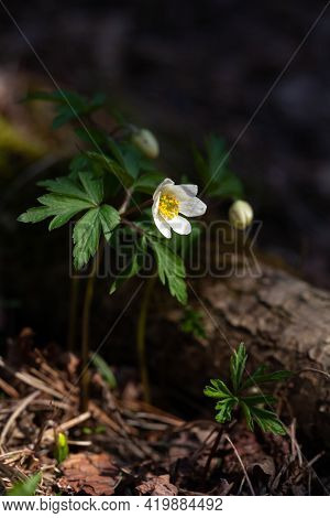Beautiful Anemones White Flowers In Sunny Spring Woods.