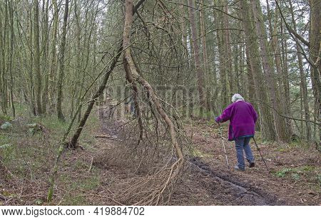 Elderly Woman Walking Along Footpath Trail Through A Remote Woodland Forest In Rural Countryside Lan