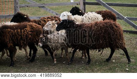 Horizontal Long Banner With Sheep And Rams. Flock Of Domestic Purebred White And Black Sheep Graze I