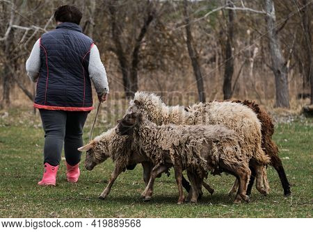 Flock Of Black And White Purebred Sheep And Rams Walks In Green Clearing In Countryside. Female Shep