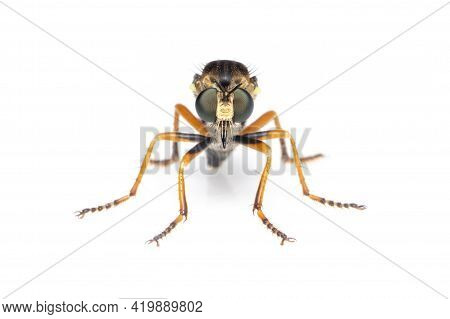Image Of The Asilidae Are The Robber Fly Family, Also Called Assassin Flies. On White Background. In