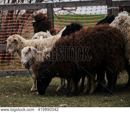 Flock Of Black White And Brown Curly Haired And Shaven Sheep Graze In Pen In Village. Sheep Eat Fres