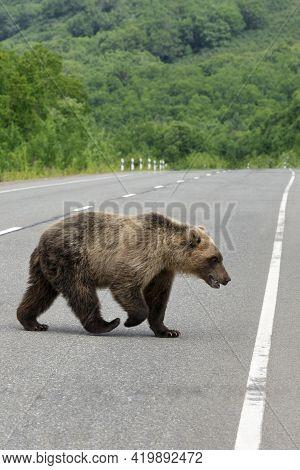 Large Dangerous Wild Brown Bear Walking Along Asphalt Road. Concept: Road Trip, Adventure, Danger Du