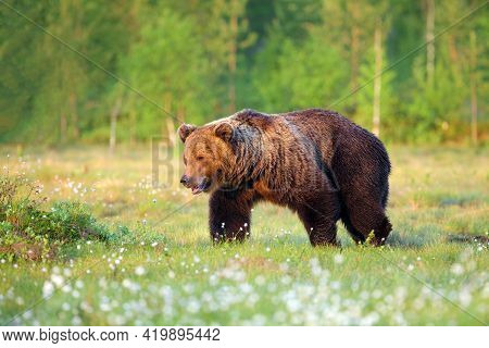 The Brown Bear (ursus Arctos) Walking Through The Finnish Taiga. A Big Male Bear Goes Spring Meadow.
