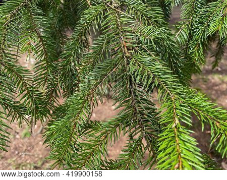 Tree Branch Close-up. Green Branches Of The Christmas Tree Grow In The Forest. Evergreen Tree Christ