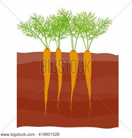 Carrots In The Garden. Carrot Tops. Carrots Grow With Leaves And Roots. Stock Vector Illustration Is