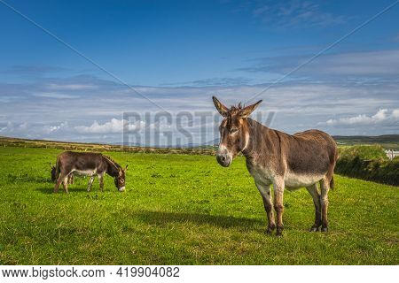 Donkeys Or Mules, Equus Asinus, Grazing On Green Pasture Or Farm At Kerry Cliffs, Portmagee, Ireland