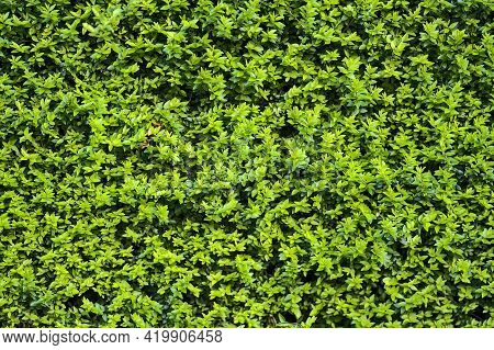 Beautiful Uniform Planting Background Of Common Boxwood (buxus Sempervirens) Hedge Fence, Dublin, Ir