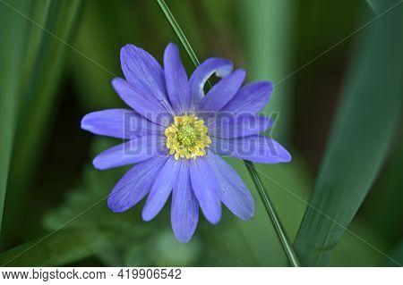 Beautiful Closeup View Of Yellow Stigma Of Blue Common Daisy (bellis Perennis) Flower Ballinteer, Du