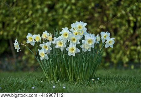 Beautiful Low Ground Closeup View Of Spring White Daffodils (narcissus) With Yellow Corona At Marlay