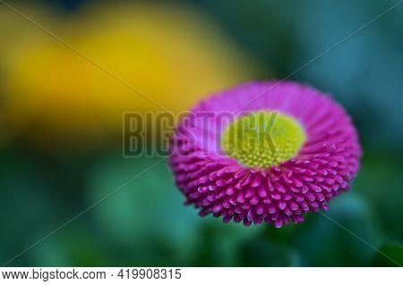 Beautiful Closeup View Of Spring Yellow Stigma Of Single Pink Common Daisy (bellis Perennis) Flower