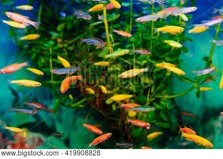 Danio Small, Fast Fish With Unusual Colors.