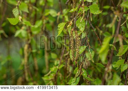 Birch Tree Branches With Yong Green Leaves In Spring