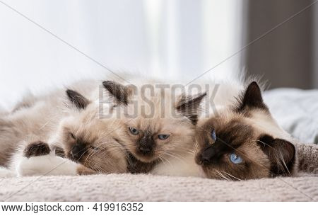 Adorable ragdoll cat lying in the bed and sleeping with two cute fluffy kittens. Feline breed family at home napping with daylight. Mother pet and her kitty children resting together