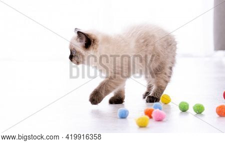 Adorable fluffy ragdoll kitten standing on the floor with colorful balls. Portrait of american breed feline kitty pet with toys. Beautiful little purebred domestic cat playing indoors