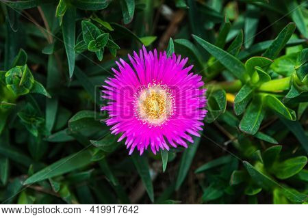 Close-up Beautiful Fresh Pink Astra Flower On A Background Of Green Grass Grows In A Home Garden, To