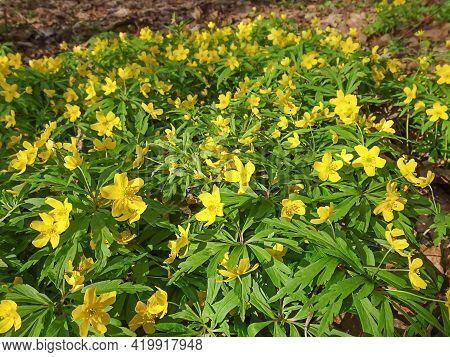 Yellow Anemone, Yellow Wood Anemone, Buttercup Anemone Natural Background, Selective Focus