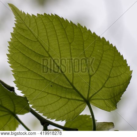 Tilia Platyphyllos Green Leaves. The Tree Is Also Known As Large Leaved Lime Or Linden.