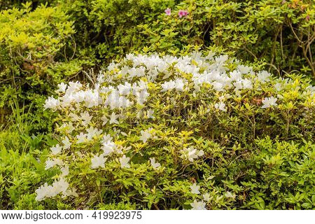 Bush Of White Azalea Blooming In Wilderness Park.