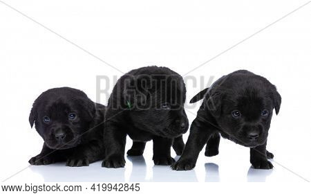 curious family of three adorable labrador retriever pups searching and exploring, one is laying down and posing isolated on white background in studio