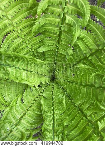 Top View Of Fresh Green Fern Leaves Background. Lush Foliage.