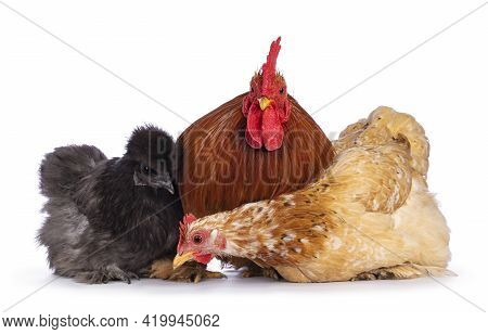 Group Of 3 Cochin And Silkie Chickens And Rooster, Sitting On A Row Facing Camera. Isolated On A Whi
