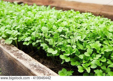 Young Mustard Sprouts Grow In The Soil. Use For Fertilizing The Soil, Improving Fertility, Weed Cont