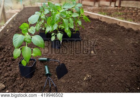 Young Bell Pepper Sprouts In A Pots On A Background Of Soil In The Vegetable Garden. Pepper Seedling