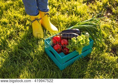 Red Tomatoes Lie In Blue Wooden Box On Green Grass Backlit By Sunlight. Concept Of Harvesting Your O
