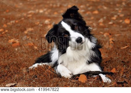 Beautiful Portrait Dog Breed Border Collie On The Brown Ground With His Stick. Beautiful Brown Eyes